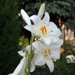 Kulit Lebih Halus & Lembut Dengan Khasiat Bunga Lily