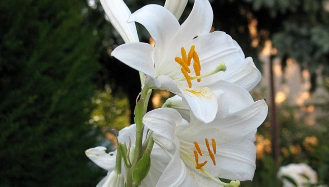 Bunga Lily - Woman Online Magazine