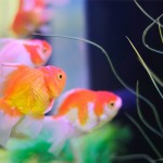 6 Tips Bela Ikan Emas
