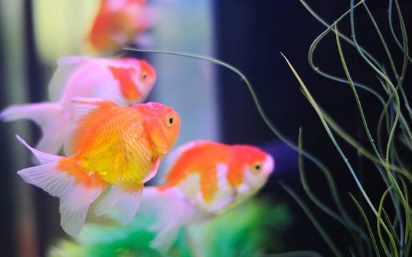 Ikan Emas - Women Online Magazine