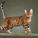 6 Ciri Kucing Bengal Yang Perlu Anda Tahu Jika Ingin Membelanya