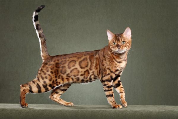Kucing Bengal - Women Online Magazine