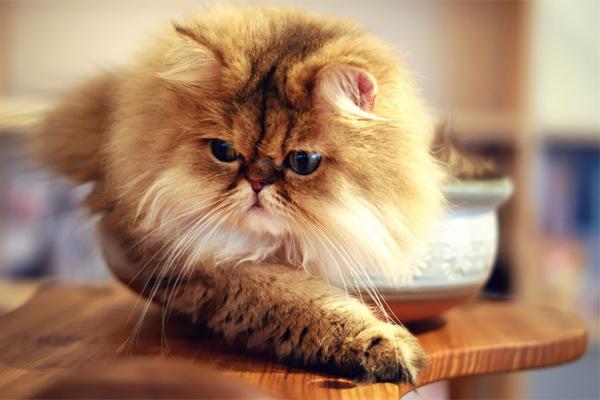 Kucing Parsi - Women Online Magazine