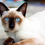 Kucing Siam Eksotik