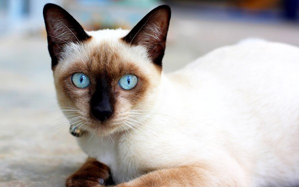 Kucing Siam - Women Online Magazine