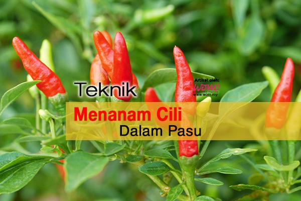 cara tanam cili - WOMEN ONLINE MAGAZINE