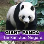 Pasangan Panda Gergasi Bakal Tarik Lebih Ramai Pengunjung Ke Zoo Negara